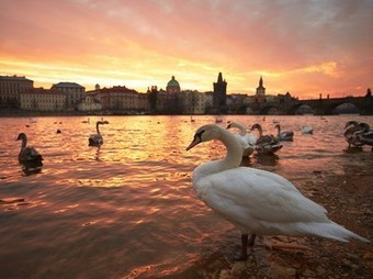 Swan Picture -- Prague Wallpaper -- National Geographic Photo of the Day | Art, photography and painting | Scoop.it