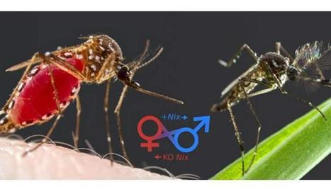 Sex-Switching Mosquito Gene Could Help Fight Dengue Fever - I4U News | Politics Daily News | Scoop.it