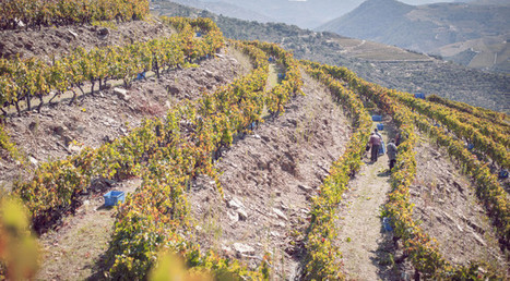 The Douro Harvest Report 2015 by Symington Family | Vitabella Wine Daily Gossip | Scoop.it