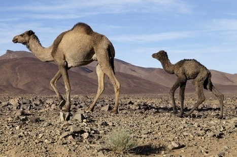 Camels May Transmit Middle East Respiratory Syndrome (MERS) To Humans, New ... - Nature World News | MERS-CoV | Scoop.it