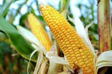 Le Conseil d'État lève l'interdiction de cultiver du maïs transgénique de Monsanto | Agriculture en Dordogne | Scoop.it