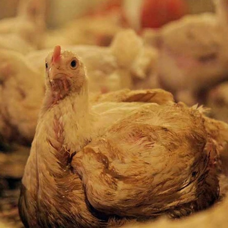 Do you know the truth about chickens? | Trading building Europe SE Asia | Scoop.it