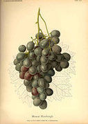 Famille des Muscats - Wikipédia | Muscat à petits grains | Scoop.it