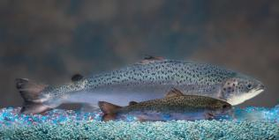 Fast-growing fish may never wind up on your plate - AP (2012) | Ag Biotech News | Scoop.it