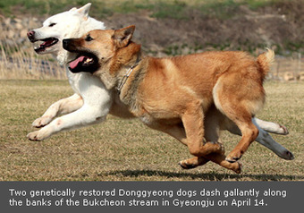 Korean dog breed | Agricultural Biodiversity | Scoop.it