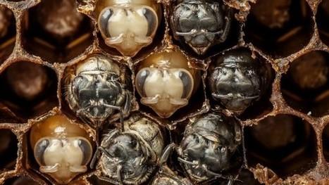 Mira los primeros 21 días de la vida de una abeja en 60 segundos (vídeo) | Agua | Scoop.it