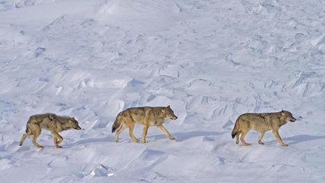Researchers say just three wolves remain on Isle Royale | GarryRogers NatCon News | Scoop.it