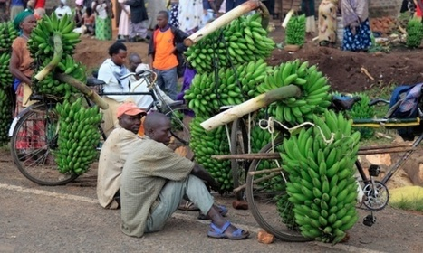 Open data: how mobile phones saved bananas from bacterial wilt in Uganda | Tech in agriculture | Scoop.it