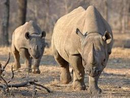 Kruger misses window to move Rhinos - Mpumalanga | What's Happening to Africa's Rhino? | Scoop.it