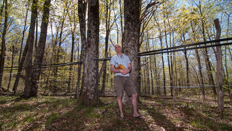 The Vermont Syrup Rush Is On, but Is Big Maple a Boon or a Bubble? | People | Scoop.it