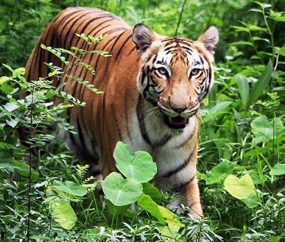 Shrinking prey base forces tigers to change behavioural pattern - The Times of India | amberosgoodbyce | Scoop.it