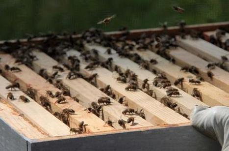 Vous voulez sauver les abeilles? Construisez vous-même votre ruche! | Economie Responsable et Consommation Collaborative | Scoop.it