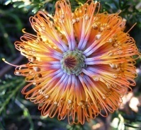 Banksia Seeds recovered from Boussole | Australian Plants on the Web | Scoop.it