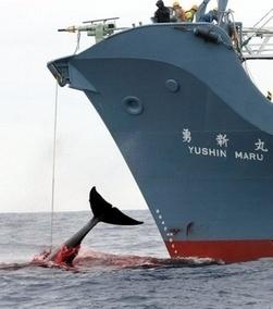Les baleiniers japonais portent plainte contre Sea Shepherd aux Etats-Unis | écolo | Scoop.it