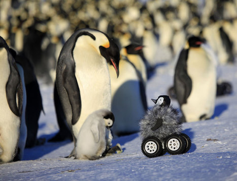 Baby chick spycam fools penguin parents - life - 03 November 2014 - New Scientist | Science&Nature | Scoop.it