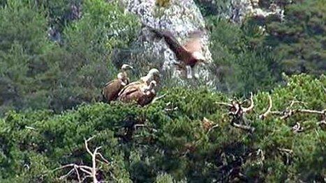 La Lozère récompensée par l'Europe pour ses vautours | Scoop des Histoires Naturelles | Scoop.it