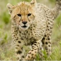 Cheetah Posters | WhiteOaks Wild Life Photography | Scoop.it