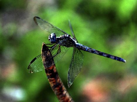 En fotos, las libélulas | Cubadebate | Danza | Scoop.it