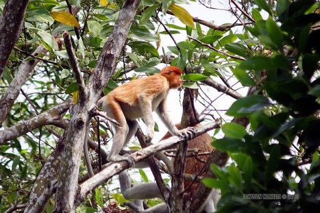 Photo 177   BEKANTAN -WILD INDONESIA   Bekantan - Wild Indonesia   Scoop.it