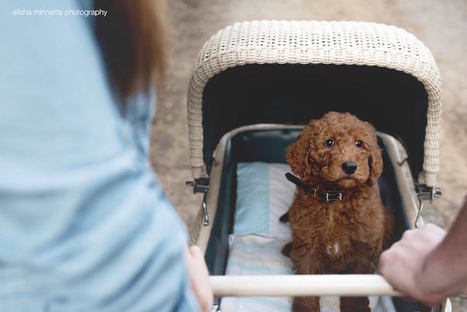 Couple Hilariously Recreates Newborn Photo Shoot with Their Puppy | Le It e Amo ✪ | Scoop.it