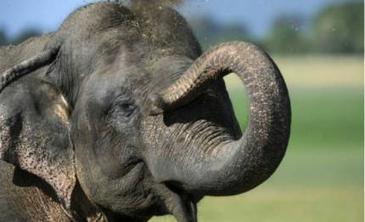 India to count its elephants | Pachyderm Magazine | Scoop.it