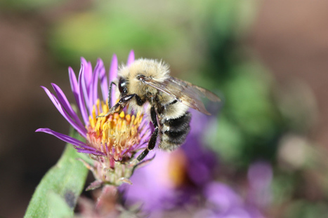 The Problem with 'Saving the Bees' | Wildlife and Environmental Conservation | Scoop.it