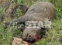 Poachers kill six rhinos in a week | Africa | Scoop.it