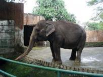 Elephant expert says Manila Zoo's Mali is suffering | Earth Island Institute Philippines | Scoop.it