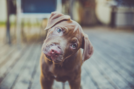Why Does Your Dog Cock Their Head - Huffington Post | dog lovers | Scoop.it