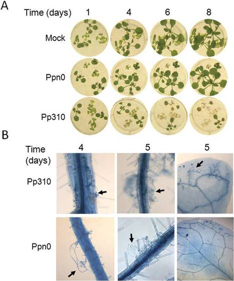 J. Exp. Bot.: Pathogen-associated molecular pattern-triggered immunity and resistance to the root pathogen Phytophthora parasitica in Arabidopsis (2013) | Effectors and Plant Immunity | Scoop.it