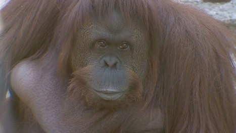Orangutan granted controlled freedom by Argentine court | Vloasis sci-tech | Scoop.it