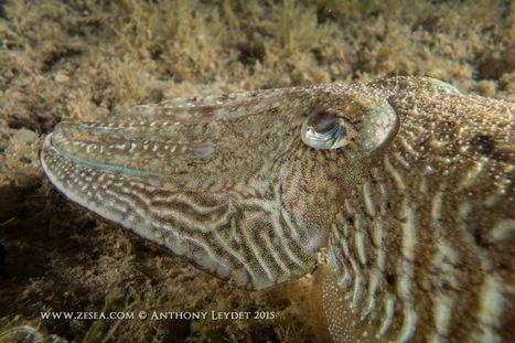 Quand les animaux marins disparaissent pour vivre ! - Le Blog de la Plongée Bio | Biologie marine | Scoop.it