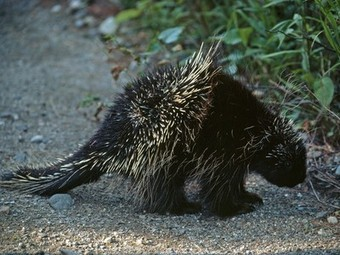 Porcupines, Porcupine Pictures, Porcupine Facts - National Geographic | Crow and weasel | Scoop.it