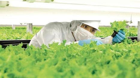 Au Japon, des robots vont faire pousser jusqu'à 10 millions de laitues par an | Vous avez dit Innovation ? | Scoop.it