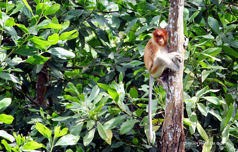 Photo 180   BEKANTAN -WILD INDONESIA   Bekantan - Wild Indonesia   Scoop.it