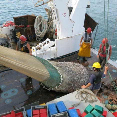 Où sont passés les anchois et les sardines ? | Biodiversité | Scoop.it