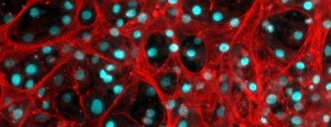 Liver cell therapies closer as study reveals key to mass production - News - Medical Research Council   Immunology and Biotherapies   Scoop.it