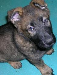 Police need puppy walkers - Kent Online | Dog Training - Mark Mendoza | Scoop.it