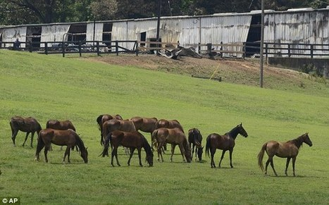 35 Saddlebred show horses worth $4 million die in a barn fire in Georgia | horse-celebrities | Scoop.it