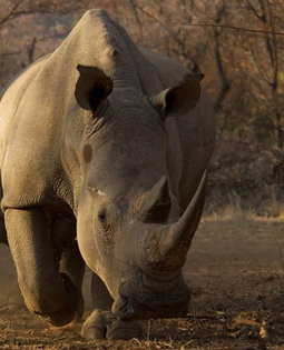 SA, Mozambique reach deal to fight rhino poaching | What's Happening to Africa's Rhino? | Scoop.it