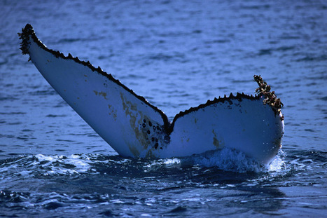 Is #WhaleWatching ethical? ~ minimise #detrimental impact on your trip... | Rescue our Ocean's & it's species from Man's Pollution! | Scoop.it
