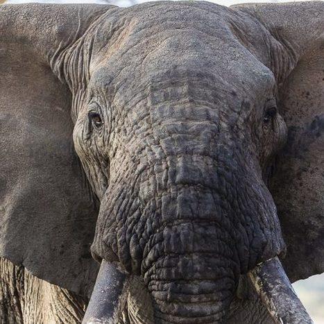 The Global Debate on Elephant Poaching | Pachyderm Magazine | Scoop.it