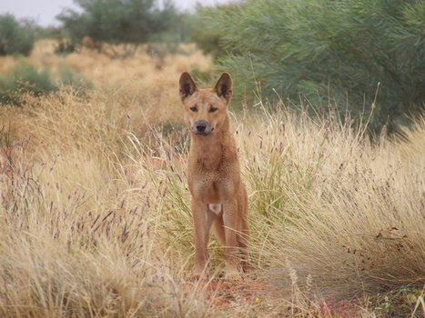 Australia should enlist dingoes to control invasive species | Garry Rogers Nature Conservation News | Scoop.it