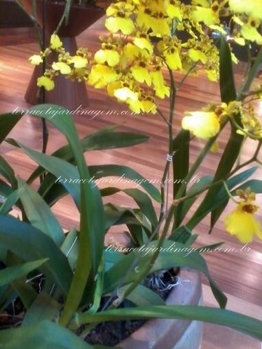 Orquídea pingo de ouro | TERRACOTA JARDINAGEM | paisajismo | Scoop.it