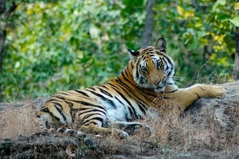 Can Tourism Help Save The Tiger? | Your Travel Choice Blog | Greatest word Tourism news | Scoop.it