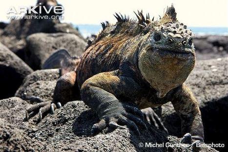 Galapagos marine iguana videos, photos and facts - Amblyrhynchus cristatus - ARKive | Animal Conservation - Iguana (Marine) | Scoop.it