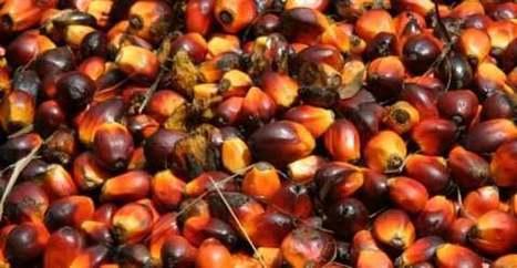 Olio di palma: la sua produzione velocizza i cambiamenti climatici. Lo studio in Malesia | Sostenibilità e Responsabilità Sociale d'Impresa | Scoop.it