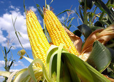 EPA Paves Pathway for 'Agent Orange' GM Corn | Food issues | Scoop.it