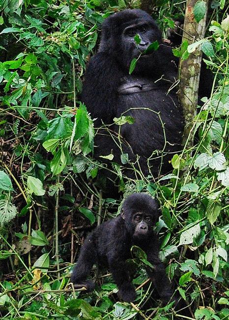 Comparing Gorilla Trekking in Rwanda, Uganda, and the Congo   Gorilla Trekking   Scoop.it