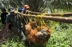 Le fonds souverain Norvégien arrête l'huile de palme | Des 4 coins du monde | Scoop.it